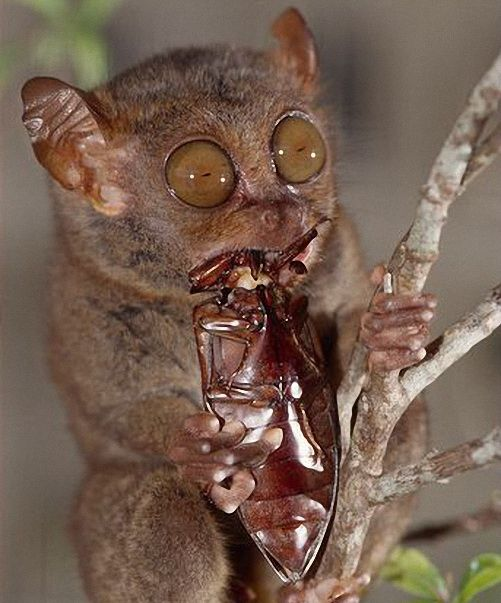 Philippine-tarsier-eating-a-click-beetle.jpg